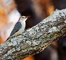 Red-bellied Woodpecker by Paul Wolf
