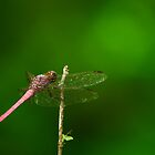 Pink Dragonfly by Paul Wolf