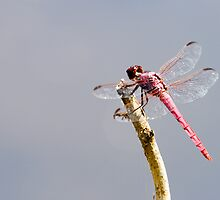 Pink Dragonfly 2 by Paul Wolf