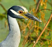 Yellow-crowned Night-heron by Paul Wolf