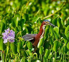 Green Heron and Hyacinth by Paul Wolf