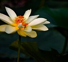 Lotus Flower and a Visitor by Paul Wolf