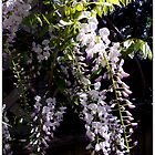 White's Right Wisteria by Michael May
