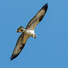 Osprey in Flight by Paul Wolf