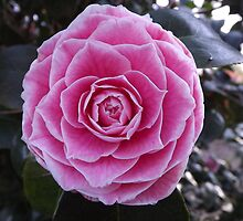 Pink & White Pristine Camelia! by seeingred13