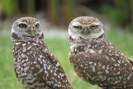 Burrowing Owls by enyaw
