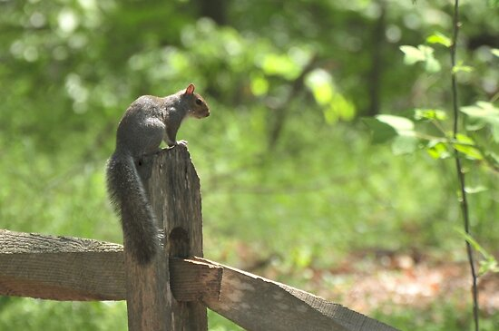 Squirrel at Cape Fear by Lolabud