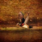 Wood Duck Taking Off by Deborah  Benoit