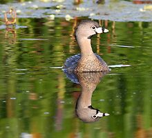 Pied grebe with reflection by jozi1