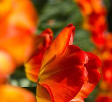 Tulip Time by Cathy Donohoue