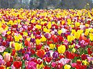 Tulip Flowers art prints Colorful Spring Tulips Festival by BasleeArtPrints