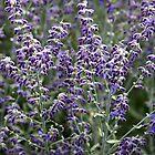 Lavender Flowers by joycemlheureux