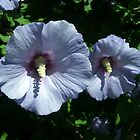 Rose of Sharon by Kathleen Daley
