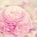 Pink Ranunculus  by afeimages