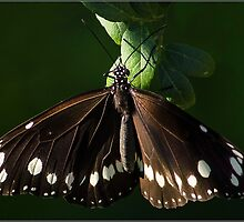 Australian Crow Butterfly by Helenvandy