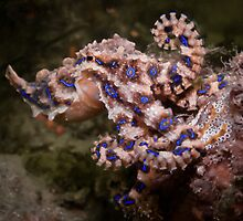 Blue Ringed Octopus by WillOwyong