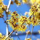 Yellow tree/buds/flowers by joycemlheureux