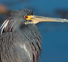 Tri-colored heron, West Lake Toho by Matthew Elliott
