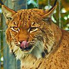 Euroasian Lynx by jebCreate