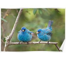 Fluffed Up Buntings Poster