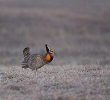 Prairie Chicken 2013-7 by Thomas Young