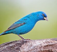 Male Indigo Bunting by Bonnie T.  Barry