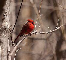 The Northern Cardinal by withacanon