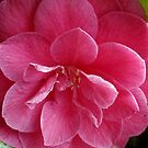 close cropped camellia by dedmanshootn