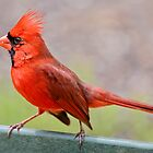 Fiery Red Cardinal by Bonnie T.  Barry