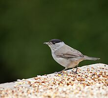Blackcap by Sue Robinson