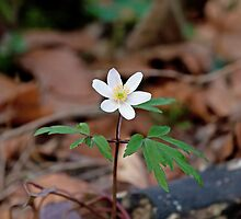 Wood Anemone by Sue Robinson