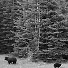 Bears in forest, Canada by Jeddaphoto