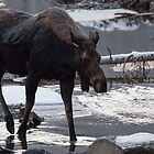 Early Morning Moose by Ken McElroy