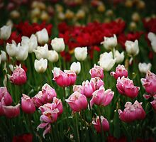 Tulips by pratt1ak