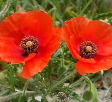 Pair of Pretty Poppies by HolidayMurcia