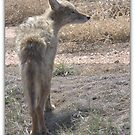 COYOTE  SERIES 3 0F 8 by Betsy  Seeton