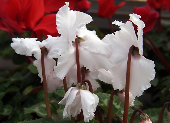 Ruffled Cyclamen by Linda  Makiej