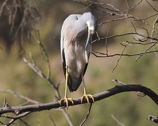 Must Clean Each Feather White Faced Heron Canberra Australia  by Kym Bradley