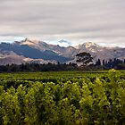 Marlborough Vineyards, South Island by Kevin Hellon