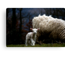 little lamb... ♥ Canvas Print