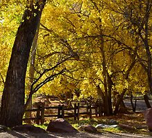 Old Cottonwoods In Fall by Gina Dazzo