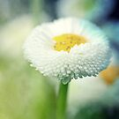 Daisy Dreams by Astrid Ewing Photography