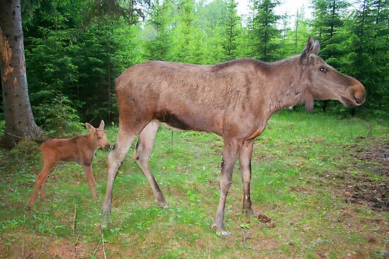 Eurasian Elk with Calf by Jo Nijenhuis
