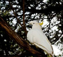 Cockatoo by MickDavsonPhoto