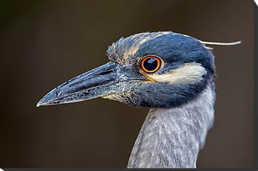 Yellow Crowned Night Heron Portrait by Daniel  Parent
