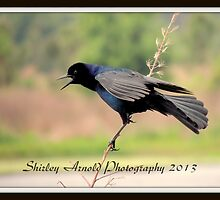 Boat-tailed Grackle by sarnold58