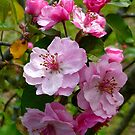 The Pink Apple Blossoms of Spring by Vivian Eagleson