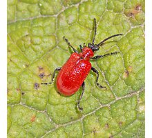Scarlet Lily Beetle Photographic Print