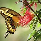 Giant Swallowtail by Kimberly Chadwick