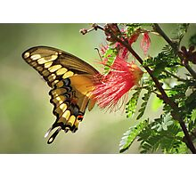 Giant Swallowtail Photographic Print
